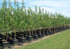 arbori-ornamentali-deva-500x351